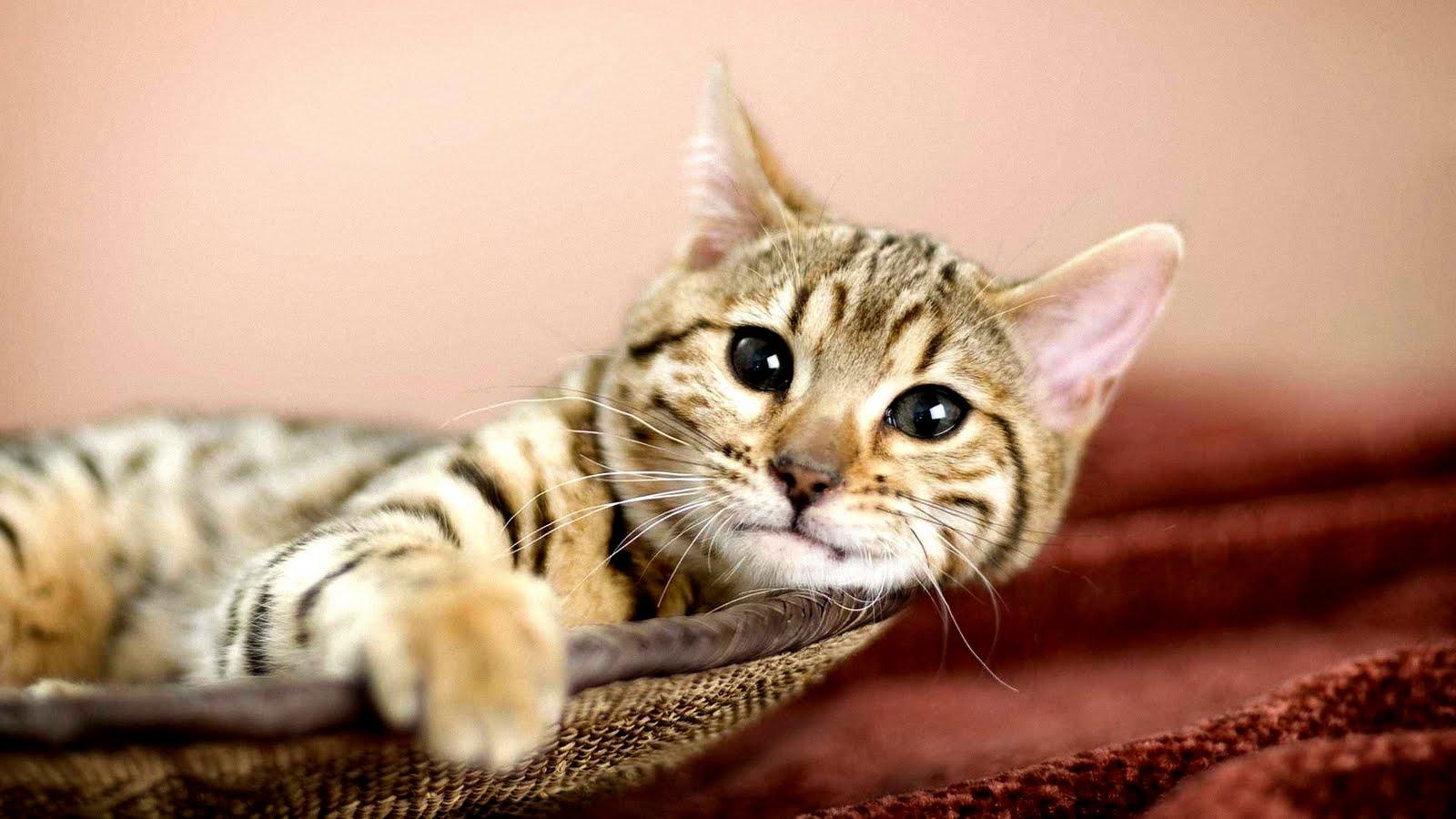 gatito-descansando-lazy-cat-gato-flojo-kitten